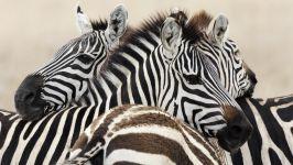 равномерная полоска у зебры